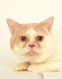 エムドッグス,動物プロダクション,ペットモデル,ペットタレント,モデル猫,タレント猫,スコティッシュフォールド,マイケル