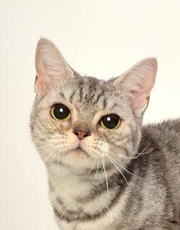 エムドッグス,動物プロダクション,ペットモデル,ペットタレント,モデル猫,タレント猫,アメリカンショートヘア,ネム
