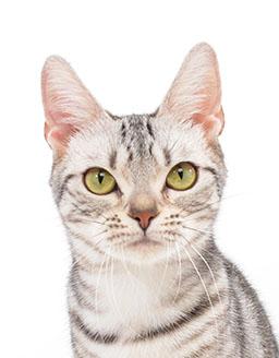 エムドッグス,動物プロダクション,ペットモデル,ペットタレント,モデル猫,タレント猫,アメリカンショートヘア,おこめ