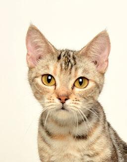 エムドッグス,動物プロダクション,ペットモデル,ペットタレント,モデル猫,タレント猫,アメリカンショートヘア,COCO(ココ)