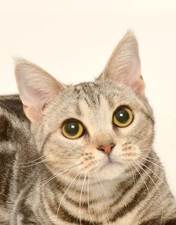 エムドッグス,動物プロダクション,ペットモデル,ペットタレント,モデル猫,タレント猫,アメリカンショートヘア,つぶ