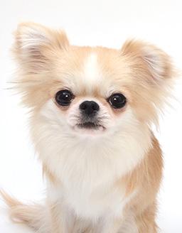 エムドッグス,動物プロダクション,ペットモデル,ペットタレント,モデル犬,タレント犬,チワワ,こま