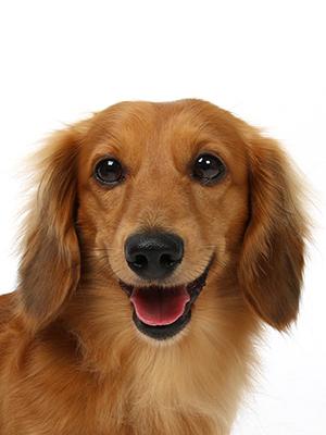 エムドッグス,動物プロダクション,ペットモデル,ペットタレント,モデル犬,タレント犬,ミニチュアダックスフンド,ロア