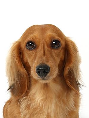 エムドッグス,動物プロダクション,ペットモデル,ペットタレント,モデル犬,タレント犬,ミニチュアダックスフンド,キララ