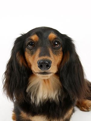 エムドッグス,動物プロダクション,ペットモデル,ペットタレント,モデル犬,タレント犬,ミニチュアダックスフンド,アズナヴール,