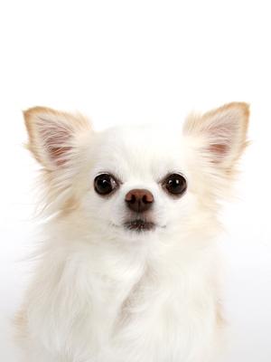 エムドッグス,動物プロダクション,ペットモデル,ペットタレント,モデル犬,タレント犬,チワワ,いちご