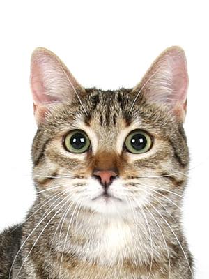 エムドッグス,動物プロダクション,ペットモデル,ペットタレント,モデル猫,タレント猫,エジプシャンマウ,琴美