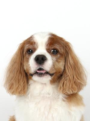 エムドッグス,動物プロダクション,ペットモデル,ペットタレント,モデル犬,タレント犬,キャバリアキングチャールズスパニエル,ジローラモ