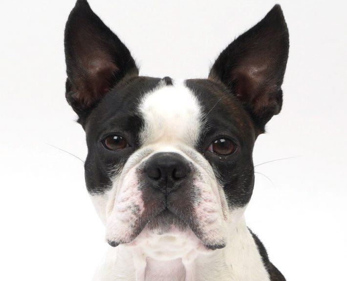 エムドッグス,動物プロダクション,ペットモデル,ペットタレント,モデル犬,タレント犬,ボストンテリア,ベティ
