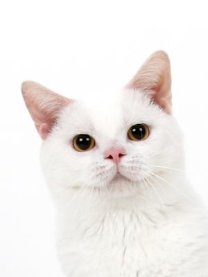 エムドッグス,動物プロダクション,ペットモデル,ペットタレント,モデル猫,タレント猫,アメリカンショートヘア,大福
