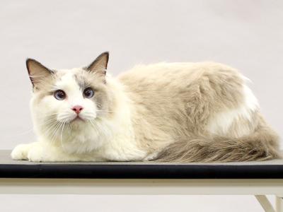 エムドッグス,動物プロダクション,ペットモデル,ペットタレント,モデル猫,タレント猫,ラグドール,ドミノ