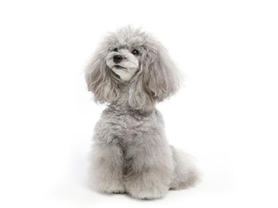 エムドッグス,動物プロダクション,ペットモデル,ペットタレント,モデル犬,タレント犬,トイプードル,マリー