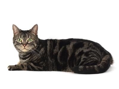 エムドッグス,動物プロダクション,ペットモデル,ペットタレント,モデル猫,タレント猫,アメリカンショートヘア,晴男,はれお