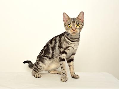 エムドッグス,動物プロダクション,ペットモデル,ペットタレント,モデル猫,タレント猫,アメリカンショートヘア,クロ