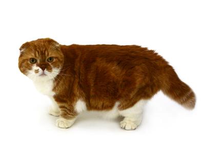 エムドッグス,動物プロダクション,ペットモデル,ペットタレント,モデル猫,タレント猫,スコティッシュフォールド,ぽんた