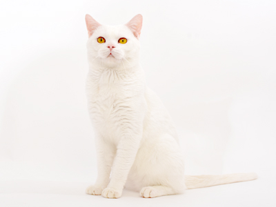 ペットモデル アメリカンショートヘアー「大福」
