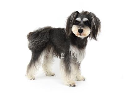 エムドッグス,動物プロダクション,ペットモデル,ペットタレント,モデル犬,タレント犬,ミニチュアシュナウザー,くらら