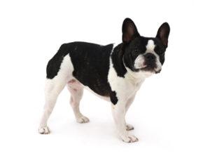 エムドッグス,動物プロダクション,ペットモデル,ペットタレント,モデル犬,タレント犬,フレンチブルドッグ,ブー子