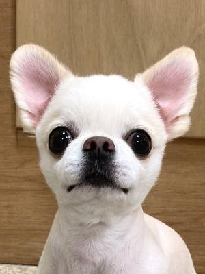 エムドッグス,動物プロダクション,ペットモデル,ペットタレント,モデル犬,タレント犬,チワワ,金太郎,きんたろう