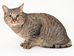 動物プロダクション エムドッグス ペットモデル 日本猫 ルイ