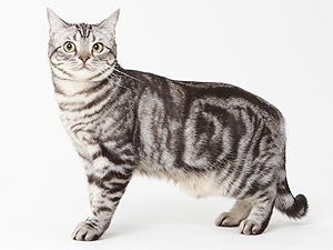 エムドッグス,動物プロダクション,ペットモデル,ペットタレント,モデル猫,タレント猫,アメリカンショートヘア,める