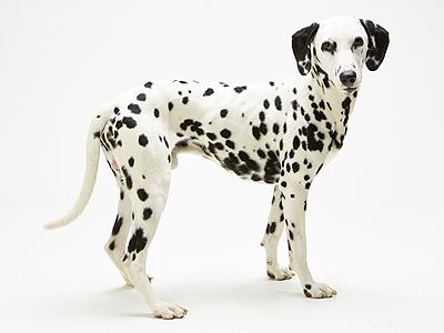 エムドッグス,動物プロダクション,ペットモデル,ペットタレント,モデル犬,タレント犬,ダルメシアン,シュウ