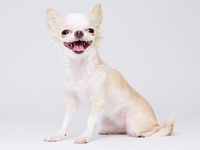 エムドッグス,動物プロダクション,ペットモデル,ペットタレント,モデル犬,タレント犬,チワワ,Qoo(クゥー)