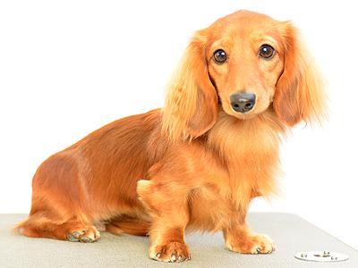 エムドッグス,動物プロダクション,ペットモデル,ペットタレント,モデル犬,タレント犬,ミニチュアダックスフンド,オルテンシア