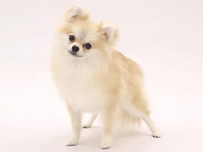 エムドッグス,動物プロダクション,ペットモデル,ペットタレント,モデル犬,タレント犬,ポメラニアン,こめ