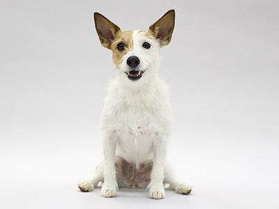 エムドッグス,動物プロダクション,ペットモデル,ペットタレント,モデル犬,タレント犬,ジャックラッセルテリア,空良蘭(クララ)