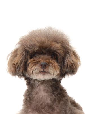 エムドッグス,動物プロダクション,ペットモデル,ペットタレント,モデル犬,タレント犬,トイプードル,飛,ふぇい