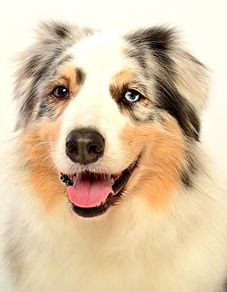 エムドッグス,動物プロダクション,ペットモデル,ペットタレント,モデル犬,タレント犬,オーストラリアンシェパード,クラッシュ
