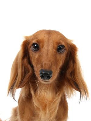 エムドッグス,動物プロダクション,ペットモデル,ペットタレント,モデル犬,タレント犬,ミニチュアダックスフンド,POPO(ポポ)