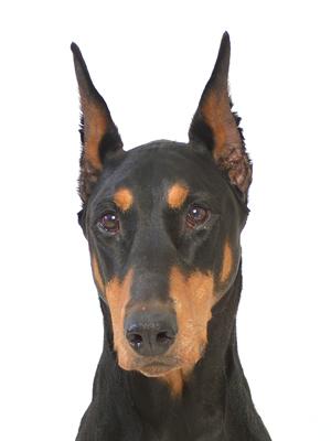 エムドッグス,動物プロダクション,ペットモデル,ペットタレント,モデル犬,タレント犬,ドーベルマン,梅子(うめこ)