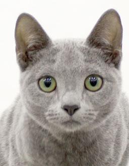エムドッグス,動物プロダクション,ペットモデル,ペットタレント,モデル猫,タレント猫,ロシアンブルー,Ruannna(ルアンナ)