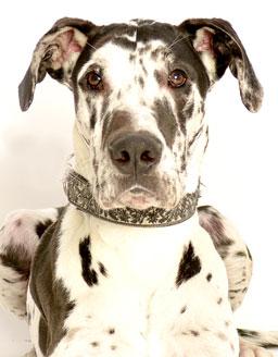 エムドッグス,動物プロダクション,ペットモデル,ペットタレント,モデル犬,タレント犬,グレートデーン,オレオ