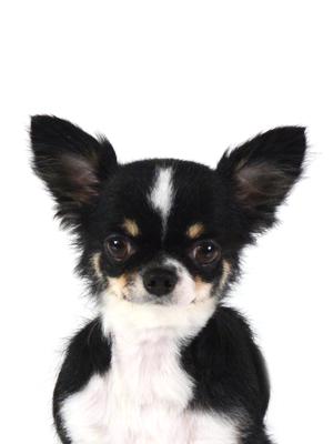 エムドッグス,動物プロダクション,ペットモデル,ペットタレント,モデル犬,タレント犬,チワワ,杏,あんず