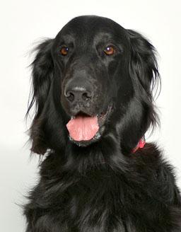 エムドッグス,動物プロダクション,ペットモデル,ペットタレント,モデル犬,タレント犬,フラットコーテッドレトリーバー,アネラ