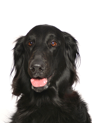 エムドッグス,動物プロダクション,ペットモデル,ペットタレント,モデル犬,タレント犬,フラッドコーテッドレトリーバー,アネラ