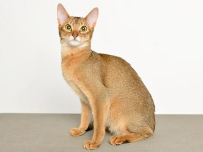 エムドッグス,動物プロダクション,ペットモデル,ペットタレント,モデル猫,タレント猫,アビシニアン,あや