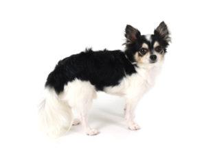エムドッグス,動物プロダクション,ペットモデル,ペットタレント,モデル犬,タレント犬,チワワ,小太郎,こたろう