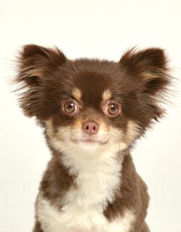 エムドッグス,動物プロダクション,ペットモデル,ペットタレント,モデル犬,タレント犬,チワワ,めい