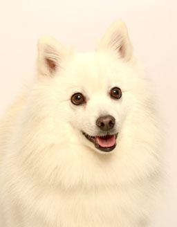 エムドッグス,動物プロダクション,ペットモデル,ペットタレント,モデル犬,タレント犬,日本スピッツ,こっとん