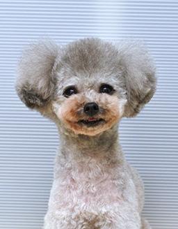 エムドッグス,動物プロダクション,ペットモデル,ペットタレント,モデル犬,タレント犬,トイプードル,ももた