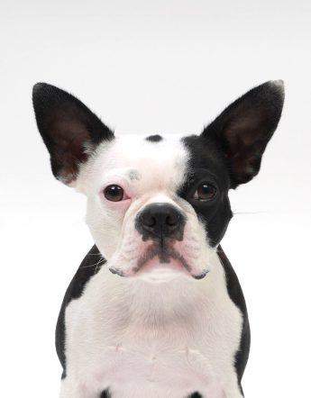 エムドッグス,動物プロダクション,ペットモデル,ペットタレント,モデル犬,タレント犬,ボストンテリア,ブーブ