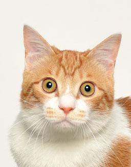 エムドッグス,動物プロダクション,ペットモデル,ペットタレント,モデル猫,タレント猫,MIX,歌麿