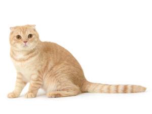 エムドッグス,動物プロダクション,ペットモデル,ペットタレント,モデル猫,タレント猫,スコティッシュフォールド,ハッチ