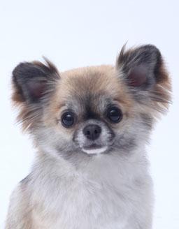 エムドッグス,動物プロダクション,ペットモデル,ペットタレント,モデル犬,タレント犬,チワワ,ティンク