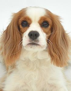エムドッグス,動物プロダクション,ペットモデル,ペットタレント,モデル犬,タレント犬,キャバリアキングチャールズスパニエル,むぎちゃ