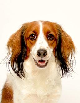 エムドッグス,動物プロダクション,ペットモデル,ペットタレント,モデル犬,タレント犬,コーイケルホンディエ,みる